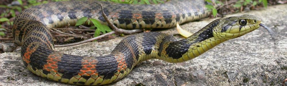 ヤマガカシ蛇
