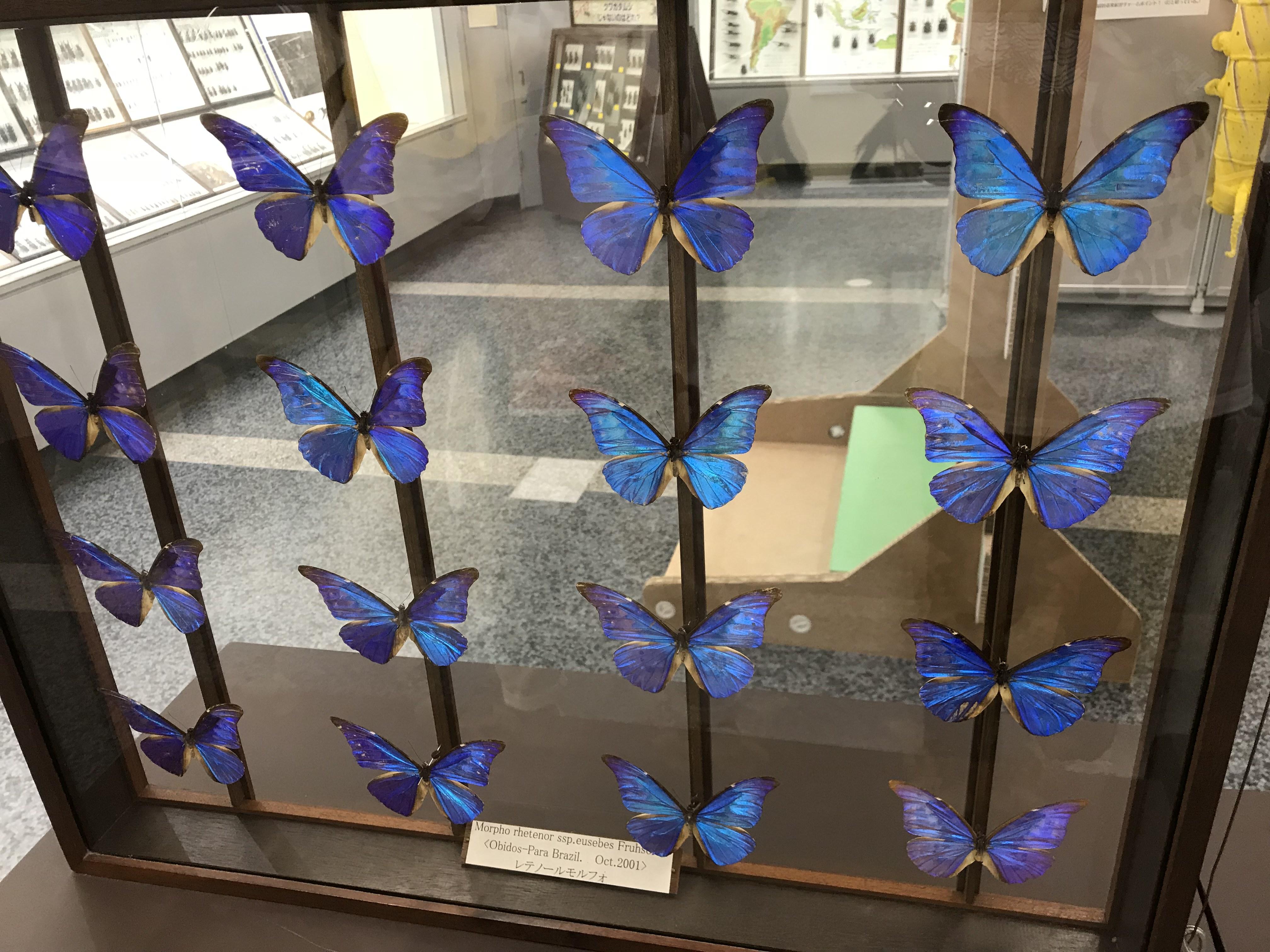昆虫博物館 蝶 標本