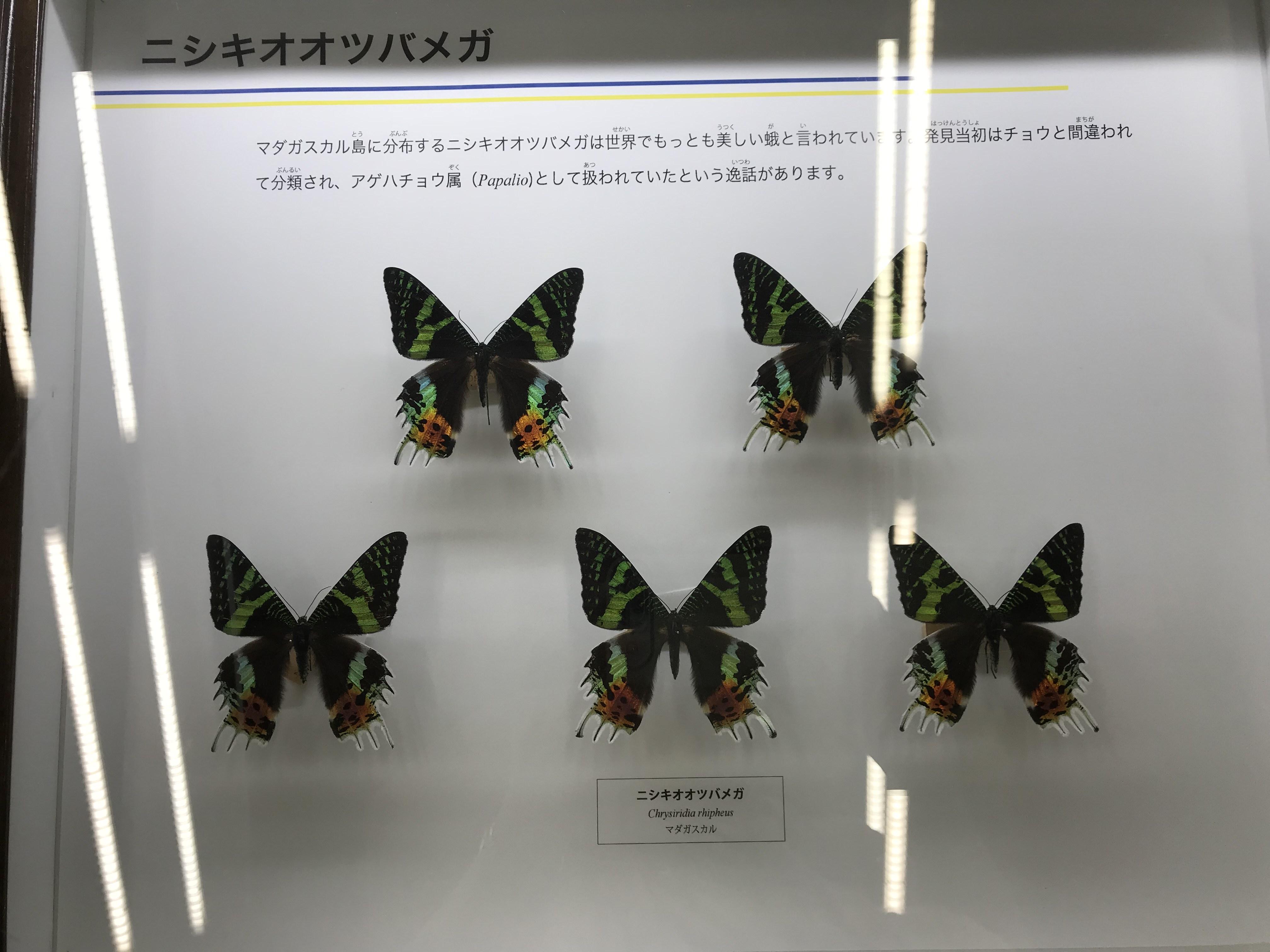 昆虫博物館 蝶々 標本