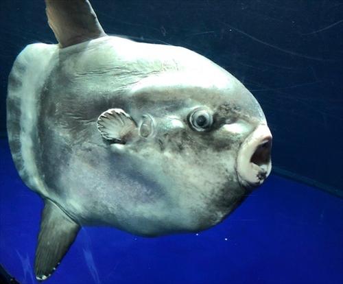 【超悲報】サンシャイン水族館の『マンボウとの出会い』残念ながらマンボウ死亡➝展示中止へ・・・