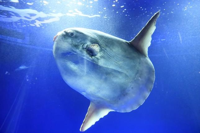 サンシャイン水族館 マンボウ死亡