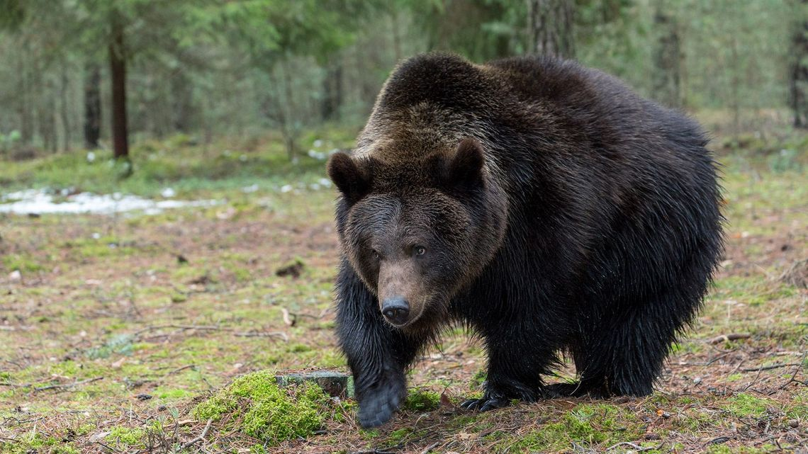 71歳おじいさん クマを2度撃退