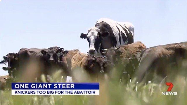 【衝撃】巨大すぎる牛が出現!あの「漫画みたいな光景」にびっくり仰天!